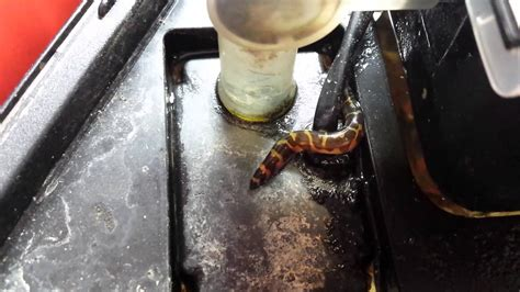 Banded Kuhli loach watch and see what he does ! - YouTube