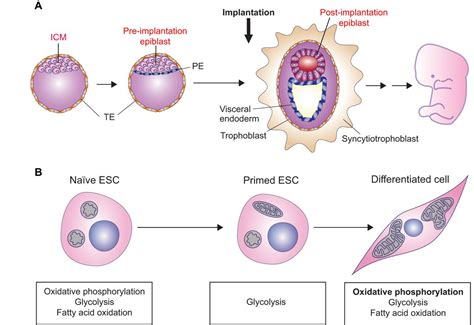 Metabolic remodeling during the loss and acquisition of