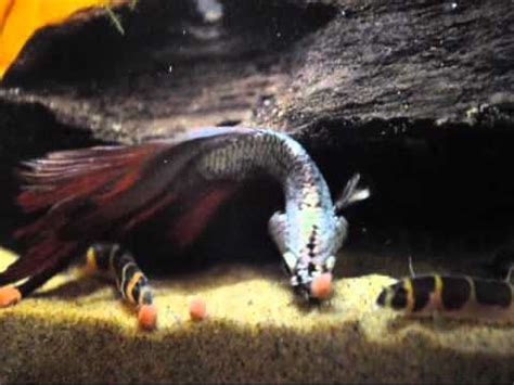 corys having fun, kuhli loaches eating, betta being silly
