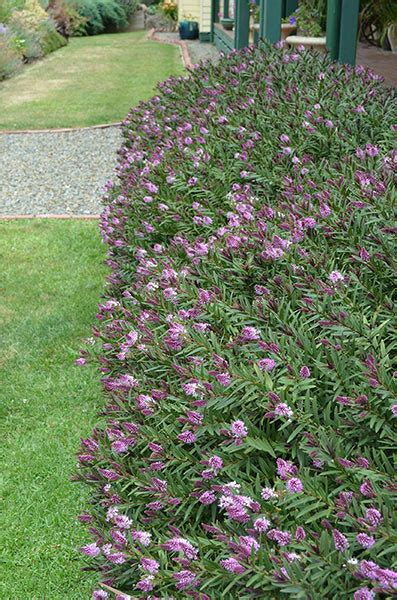 Hebe Hebe HEDGE WITH AN EDGE®