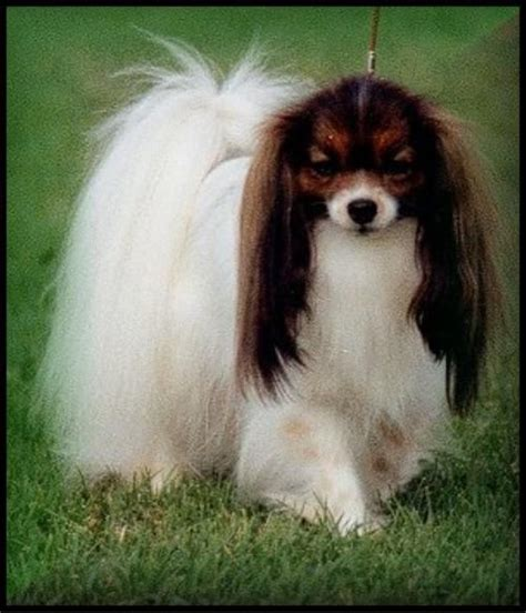 The Phalène is the earliest type from the Papillon; the